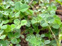 raindrops on clover